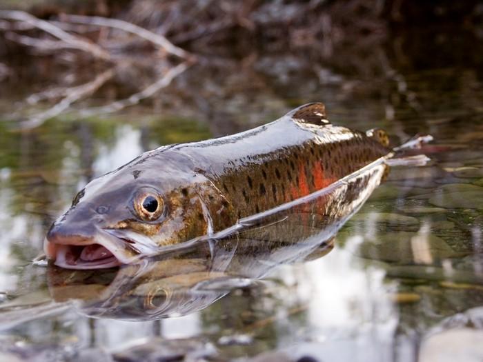 tn_царь рыба