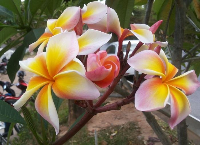 Цветок в Таиланде