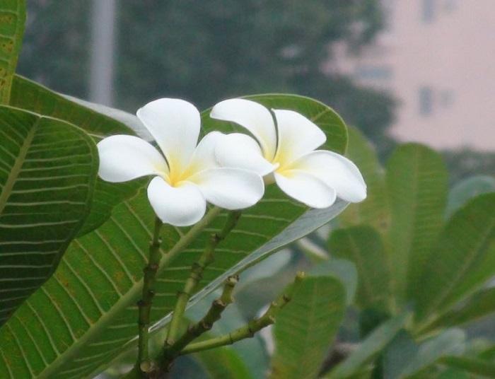 Цветы в Гонконег_2