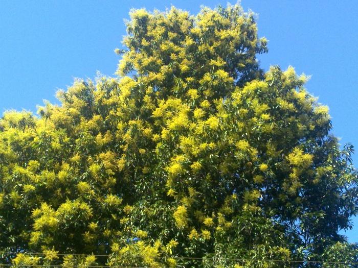 так цветет манго
