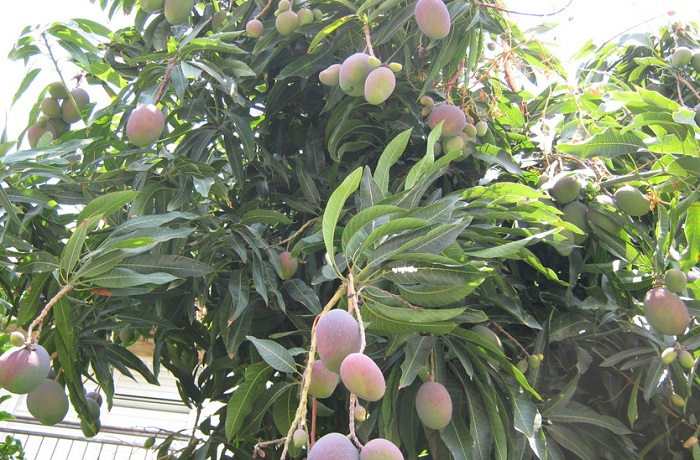 плантация манго