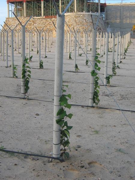 Виноградник 2