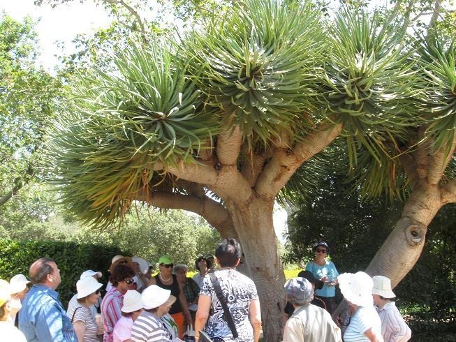 Деревья в Израиле Драконово дерево в парке Ротшильда Зихрон Яков
