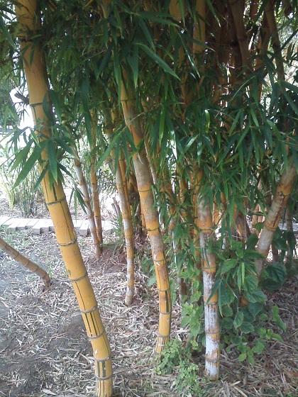 Махон бамбук у физики