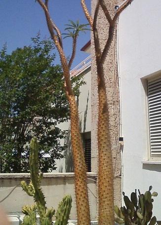 Махон колючее дерево