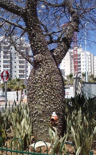 Реховот апр 2015 дерево Есенина для объятий как жену чужую