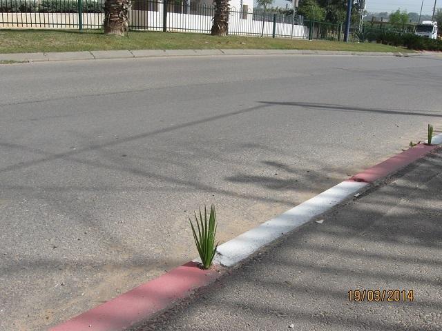 Реховот дикая пальма