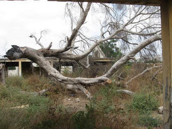 Реховот упавшее деревище 2015