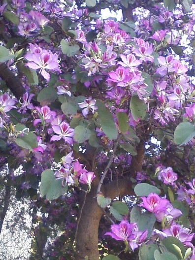 Реховот цветущее дерево с благоуханием