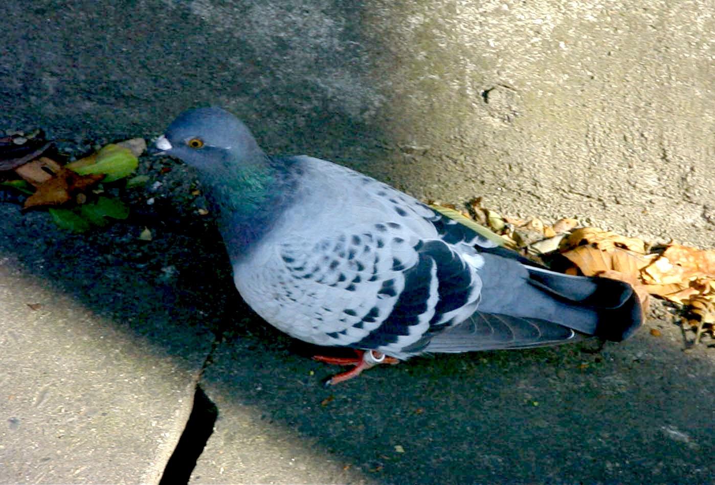 Pigeon15_09